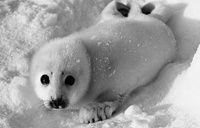 A harp seal pup on the ice of the White Sea