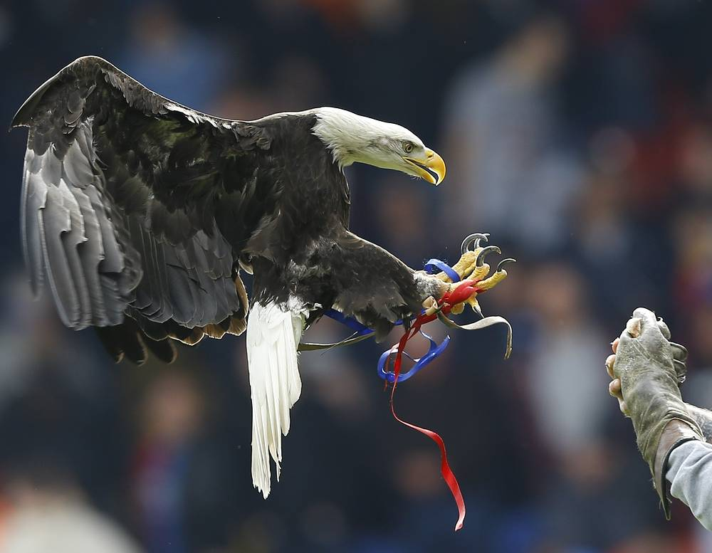 The bald eagle is both the national bird and national animal of the United States of America