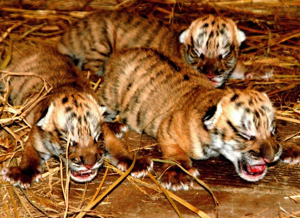The South China tiger is the most critically endangered subspecies of tiger. There are no more than 60 specimen left