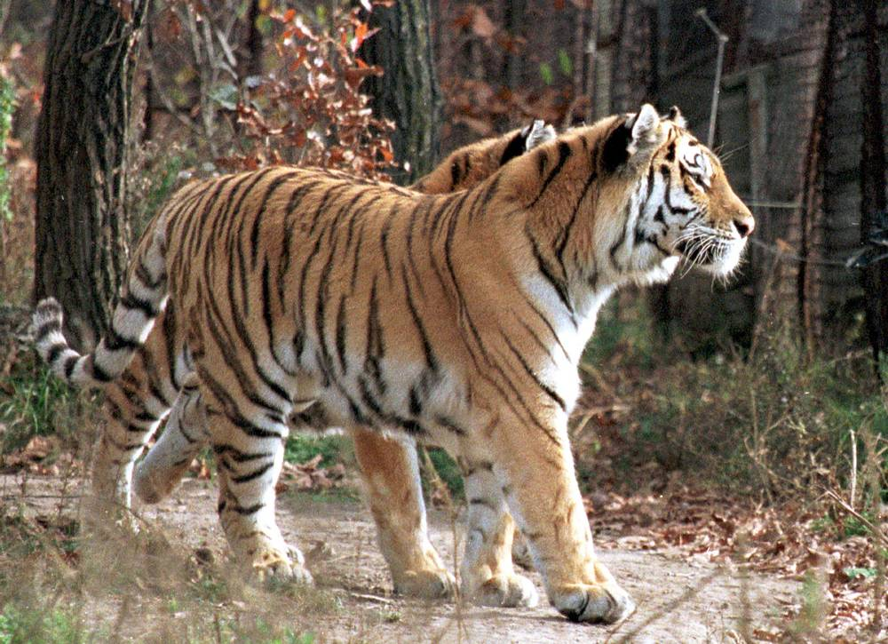 The Siberian (Amur) tiger inhabits the Amur-Ussuri region in far eastern Siberia. There are approximately 530 specimen left in the world