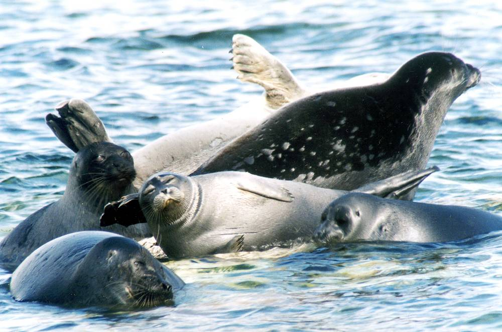 The lake is home to more than 1700 species of plants and animals, most part of which can be found only there. Photo: Baikal seals, or nerpa are the only freshwater seal species and are endemic to lake Baikal