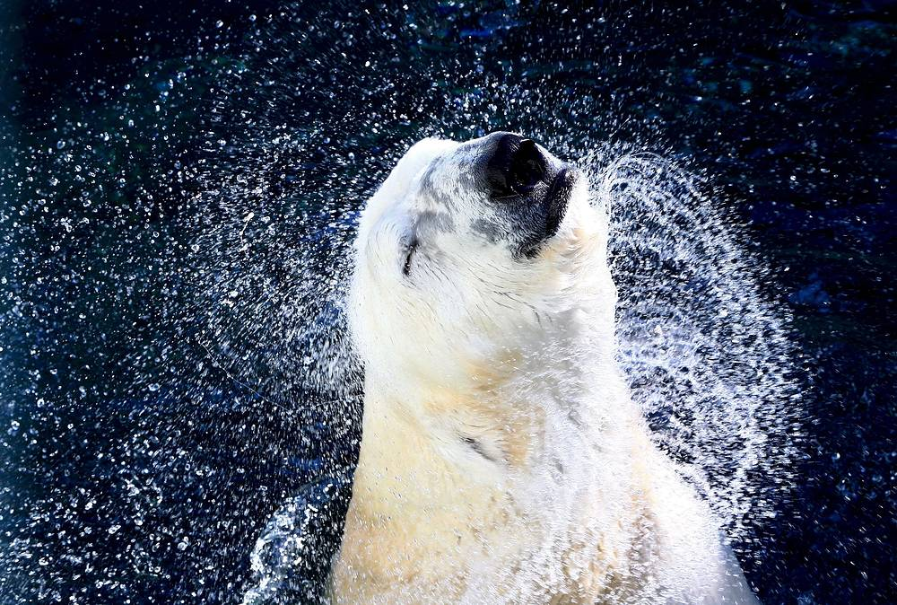 International polar bear day aims at attracting attention to the protection of the species. Photo: A polar bear in a pool in the amusement park Everland on Youngin in Gyeonggi-province, South Korea