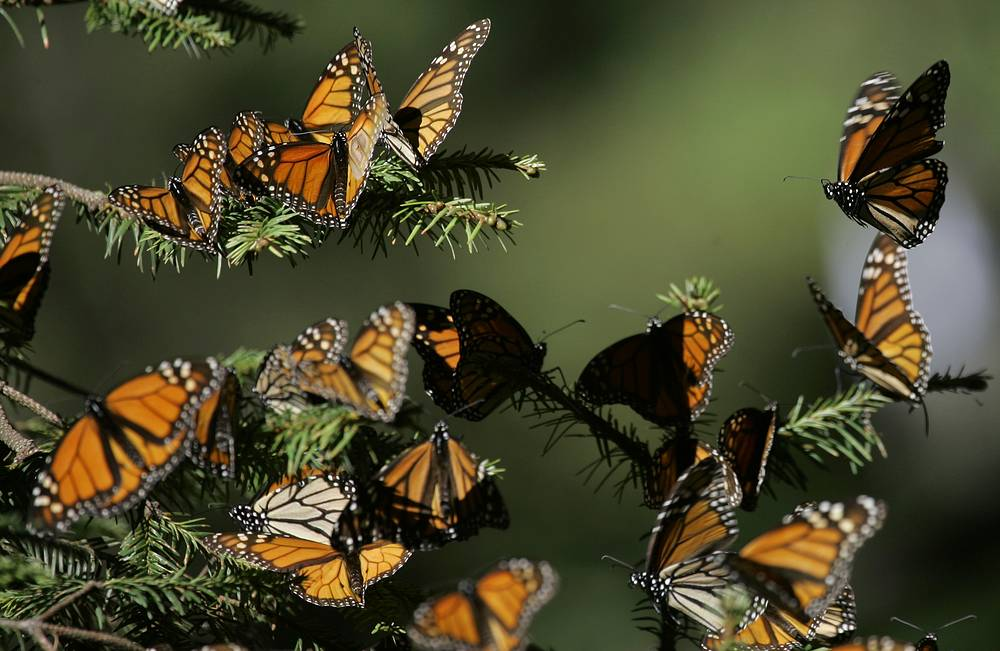 Monarch Butterfly Biosphere Reserve in Mexico is a World Heritage Site containing most of the over-wintering sites of the eastern population of the monarch butterfly