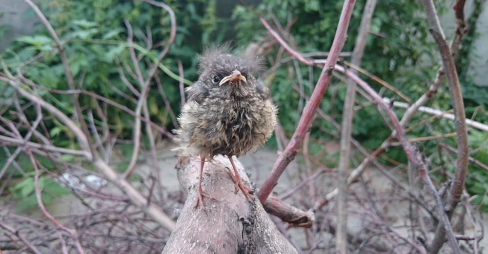 Chick, by Alisa Marina (12 years, Kazan). Photo:  redstart's nestling, republic of Tatarstan, Kazan
