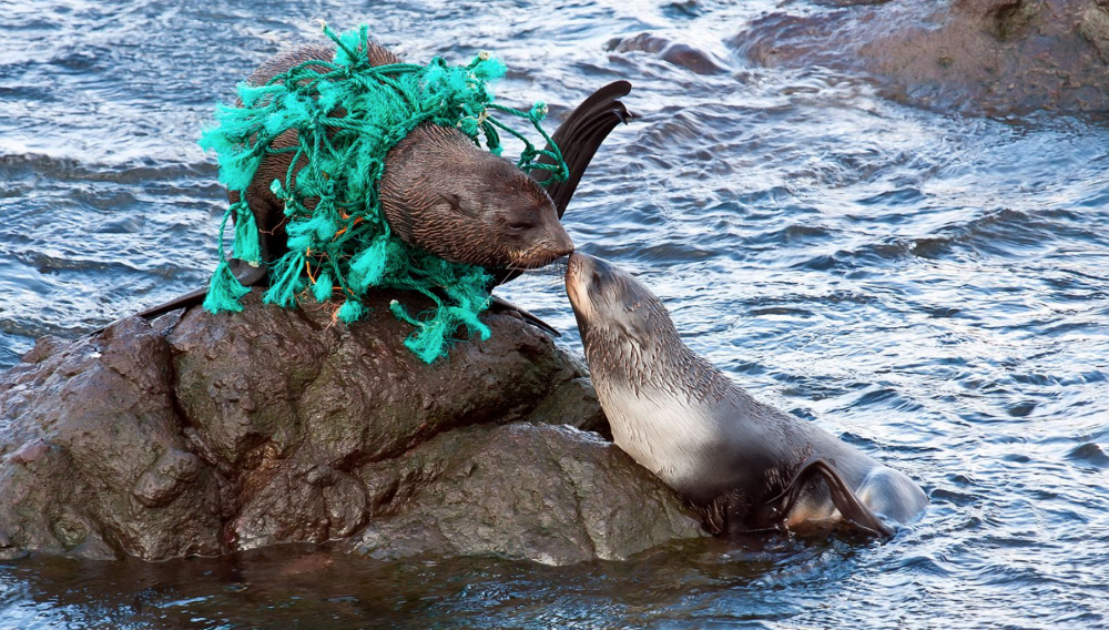 Hi, Mom! by Dmitriy Utkin (Nikolsky). Photo: fur seal pup and his mother caught in a scrap of fishing net, Bering Island