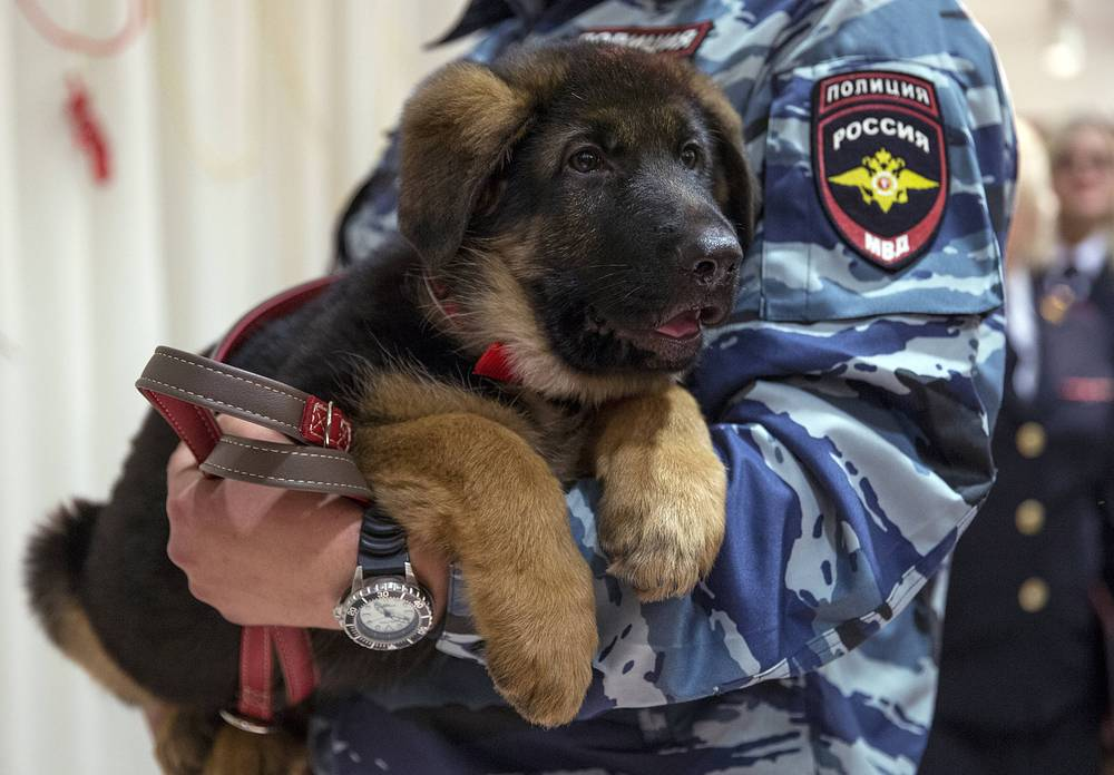 A Russian police officer with a puppy, named Dobrynya in the French Embassy in Moscow, Russia. Dobrynya was presented to French police officers to take place of a French service dog Diesel which died in a special operation held in Paris on November 18, 2015
