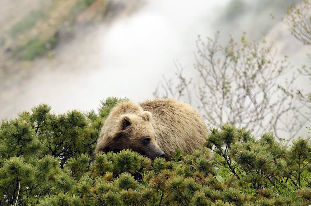 A bear in the Valley of Geysers in the Kronotsky State Biosphere Nature Reserve on Kamchatka peninsula