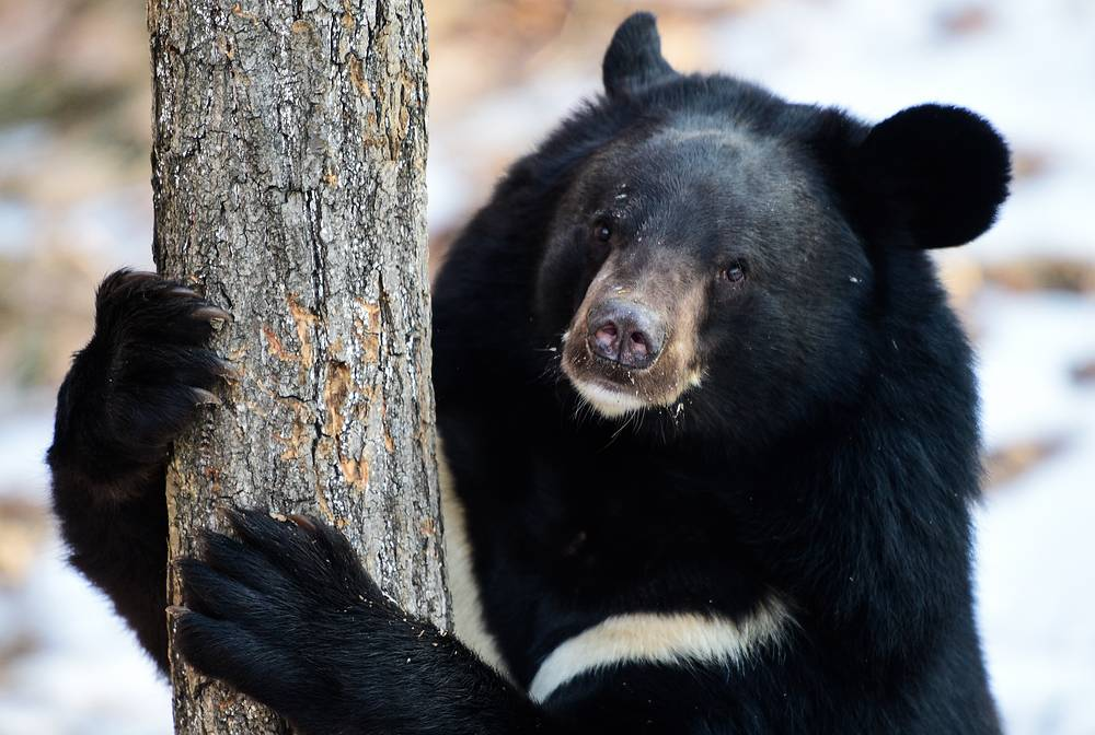 An Asian black bear climbing a tree at Primorye Safari Park, Russia, November 25