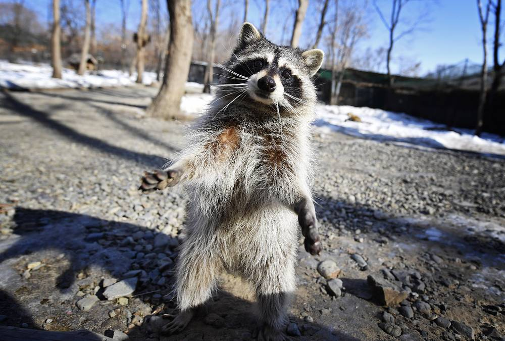 A raccoon at the Primorye Safari park