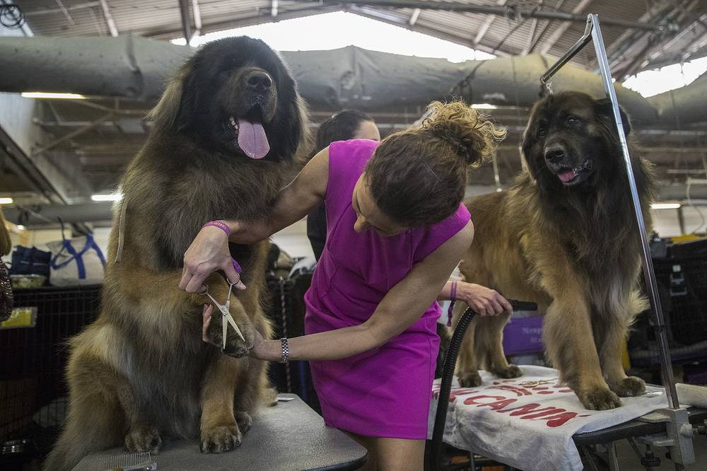 Groomer takes care of Dario, a Leonberger