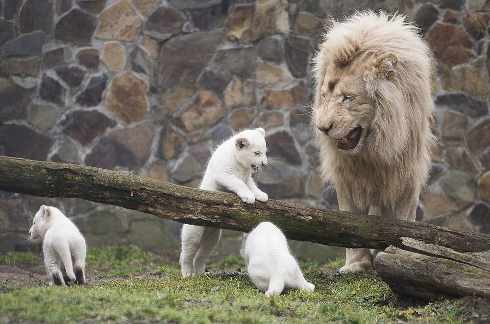 Inkosi, the white Transvaal lion, father of two-month-old triplets watches over his offsprings in Nyiregyhaza Zoo in Nyiregyhaza, Hungary, March 7
