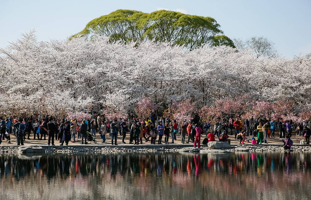 Chinese people enjoy the cherry blossoms at Yuyuantan Park in Beijing, China, March 27