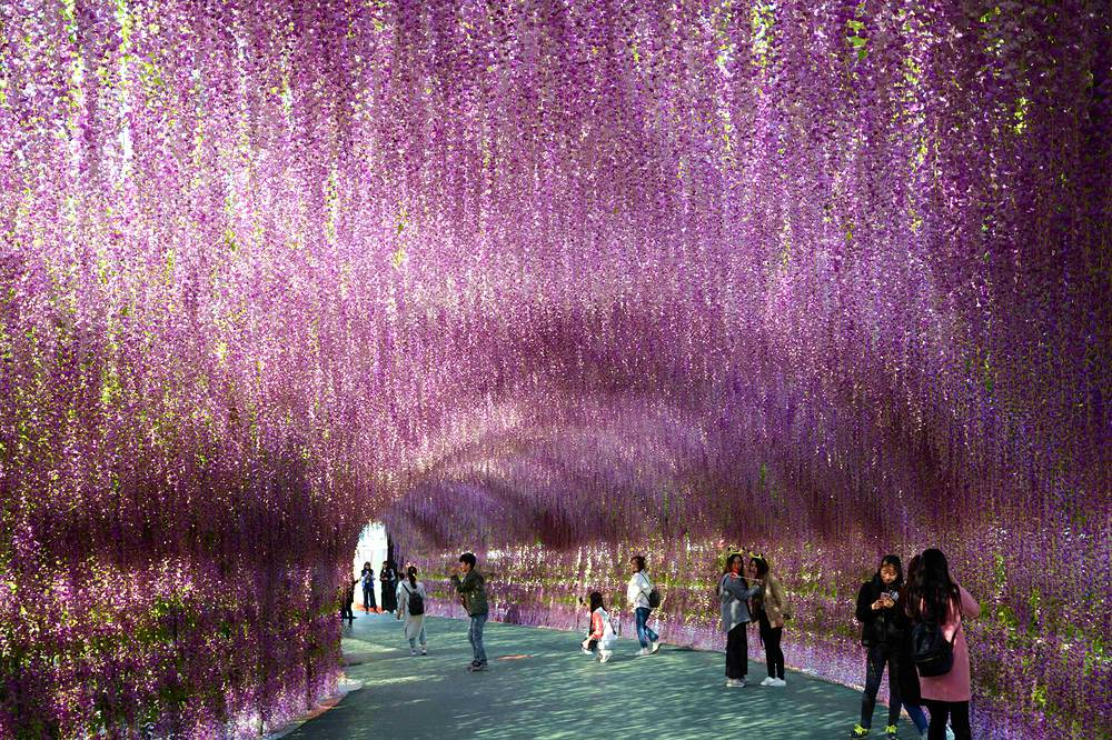 People tour through a 200-meter-long arcade of lavender in a park in Shenyang in Liaoning province, China, April 4