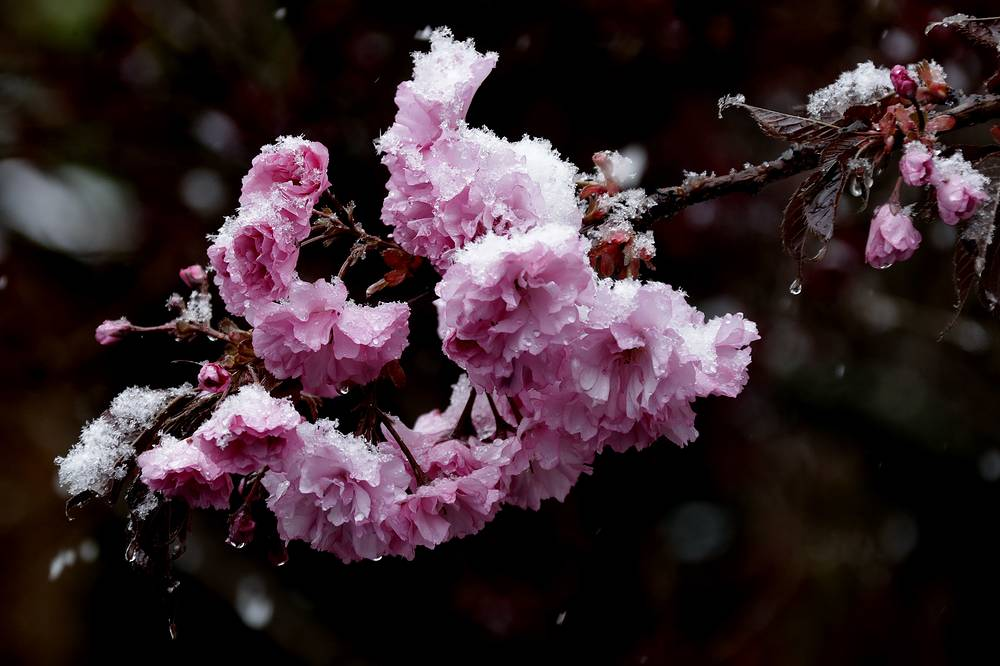 Snow covers cherry blossoms in Munich, Germany, April 18