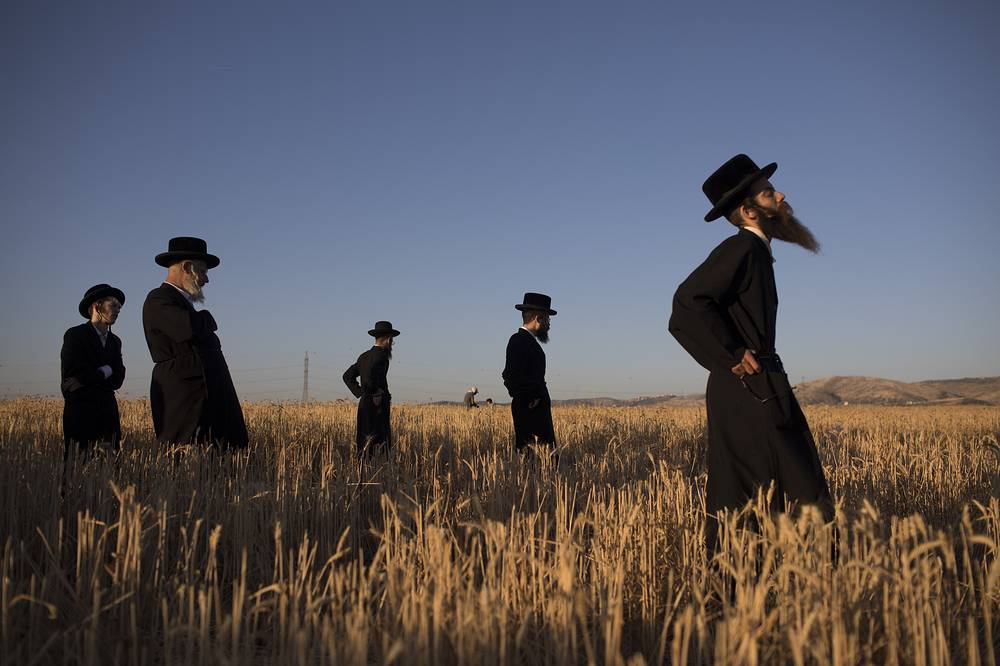 Ultra-Orthodox Jews pray as others harvest wheat in a field near the central Israeli town of Modi'in, May 11