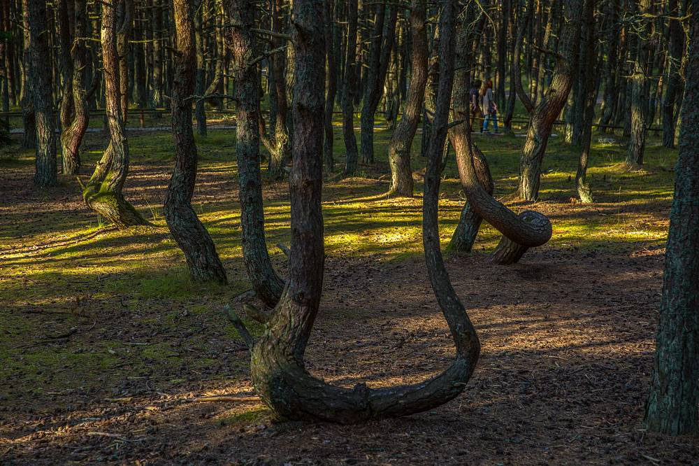 Dancing Forest, a pine forest on the Curonian Spit in Kaliningrad Oblast,  noted for its unusually twisted trees. The trees in the Dancing Forest are twisted into several patterns, such as rings, hearts and convoluted spirals bending to the ground