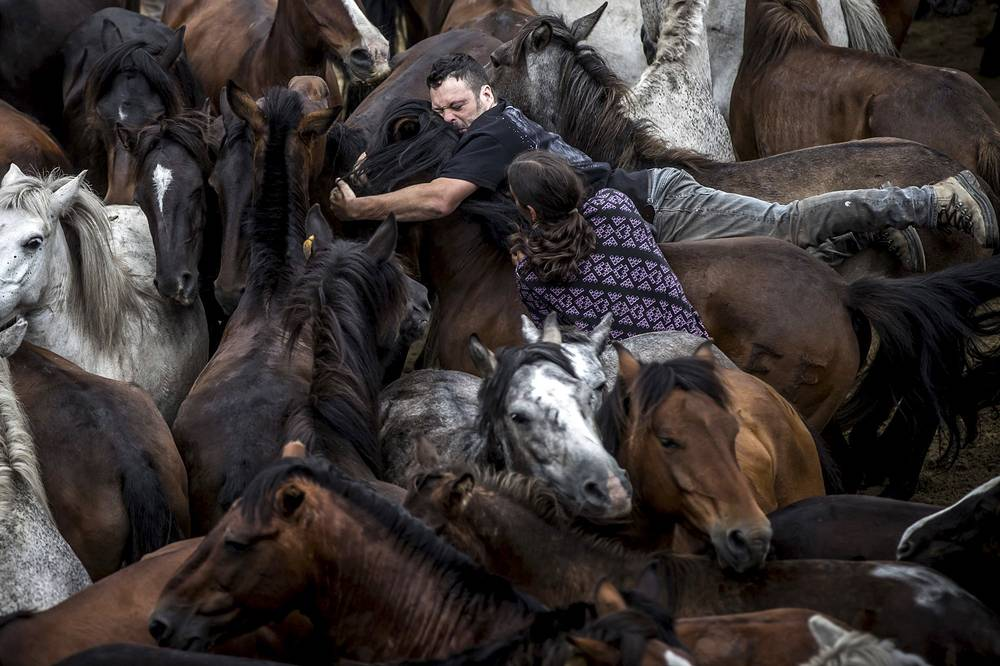 Two residents try to tear down a wild horse to cut horsehair during the traditional Rapa Das Bestas (lit. Crop the beasts) in Sabucedo, Spain, July 9