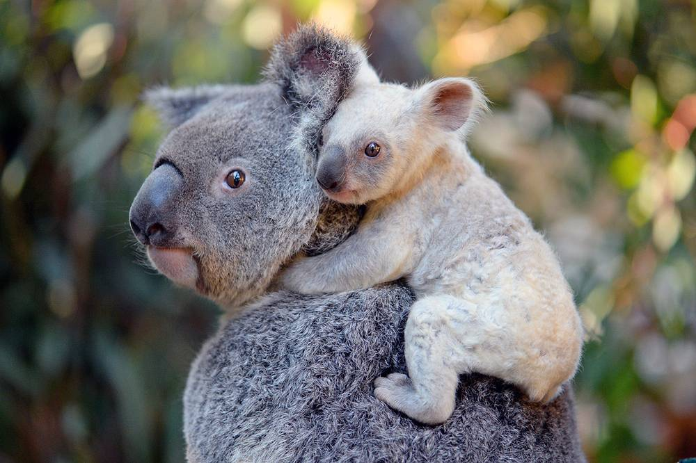 A rare white koala joey, Beerwah, Australia, photo made available by Australia Zoo on August 22