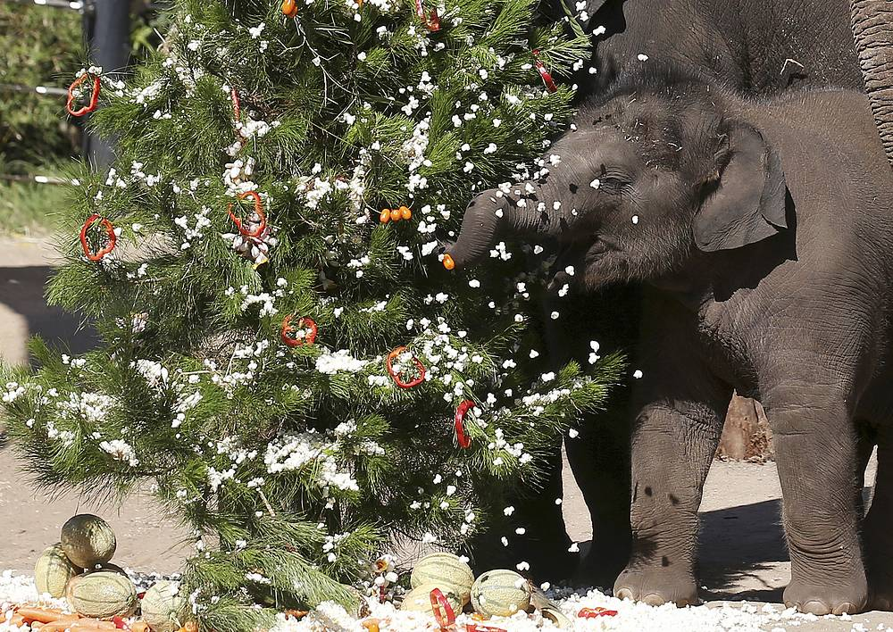 Snow made of popcorn falls on the trunk of 7-month-old Asian elephant as he explores a tree with fruits for baubles at Taronga Zoo in Sydney