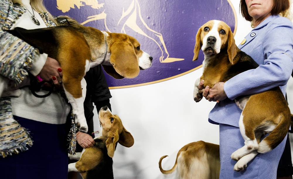 A group of Beagles are carried to the judging ring during the 2018 Westminster Kennel Club Dog Show in New York, USA, February 12