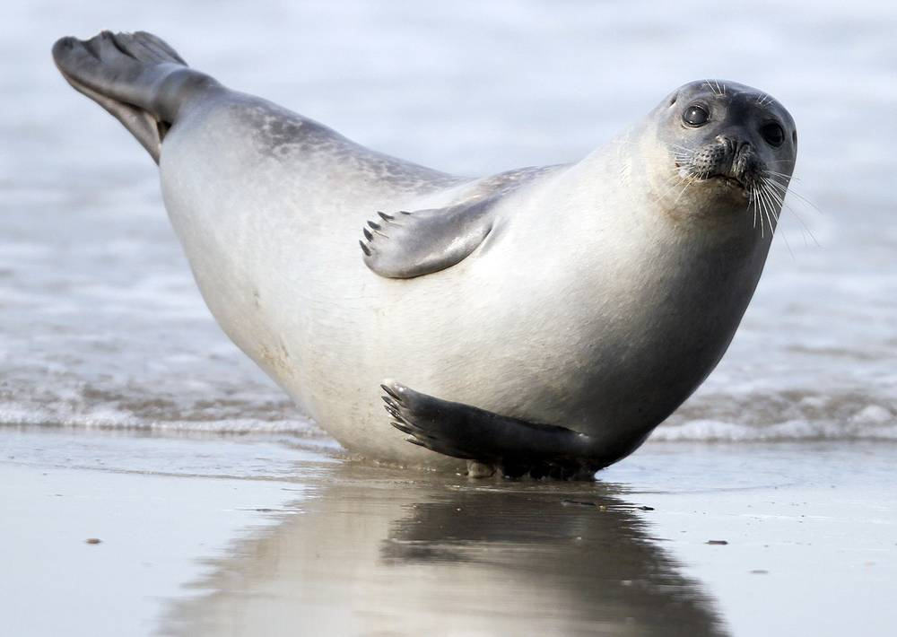A seal relaxes on the beach of the island Helgoland, northern Germany