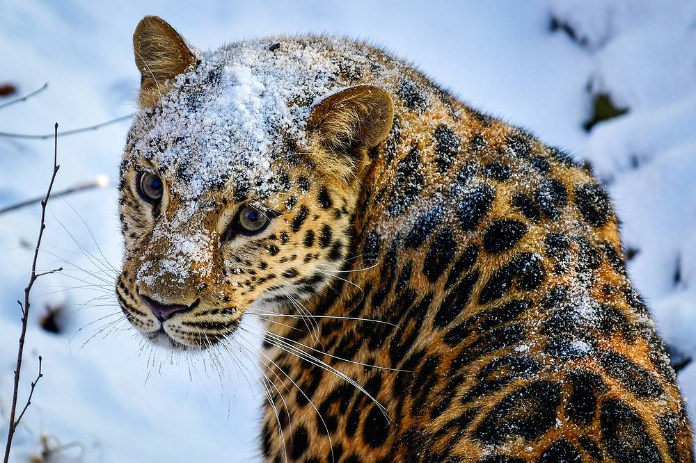 Amur leopard is a leopard subspecies native to the Primorye region of southeastern Russia and the Jilin Province of northeast China. It is listed as Critically Endangered on the IUCN (International Union for Conservation of Nature) Red List. Far Eastern leopard population has increased from 30 to 80 species over the past five years