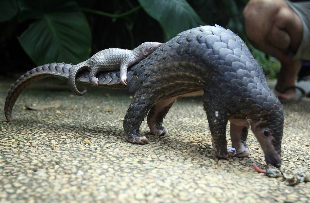 Chinese pangolin is a pangolin found in northern India, Nepal, Bhutan, Bangladesh, Myanmar, Taiwan and China. The IUCN reports that the number of Chinese pangolins has declined greatly over the past 15 years, as poaching continues to be the main cause of their decline