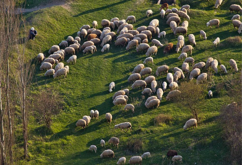 An aerial view of a flock of sheep near the Biyuk Karasu River by the White Rock in Belogorsky district