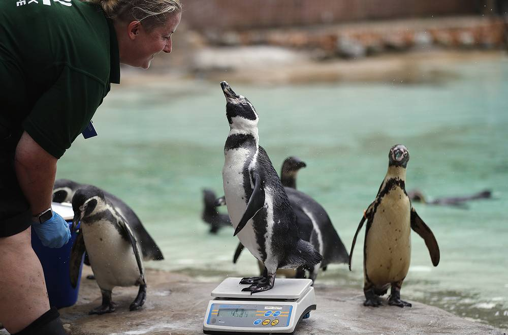 A penguin stands tall on the weighing scales for the Zoo's annual weigh-in, London, August 23