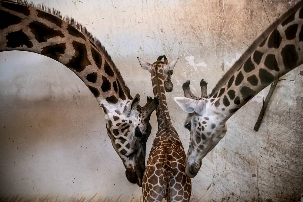 A twelve-days-old male Nubian giraffe calf is framed by two adults in the animals' enclosure at the zoo in Prague, February 25