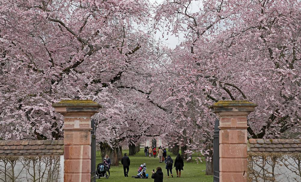 Visitors enjoying the scenery with flowering Japanese cherry trees in the garden park of the castle in Schwetzingen, Germany
