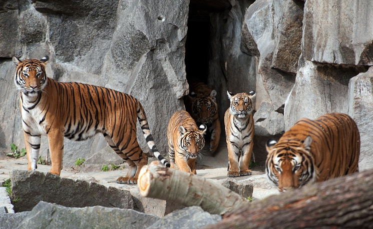 By early XXI century, only six subspecies of tigers are left in the world: the Bengal tiger, the Indochinese tiger, the Malayan tiger, the Siberian (Amur) tiger, the South China tiger and the Sumatran tiger