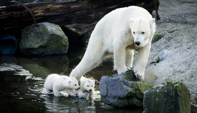 The biggest polar bears can be found in the Bering Sea. Photo: Polar bear twins make their first public appearance with their mother at Ouwehands Zoo Rhenen, The Netherlands