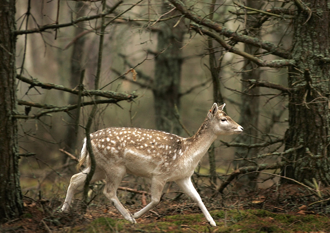 Belovezhskaya Pushcha national park is one of the last and largest remaining parts of the immense primeval forest in Europe