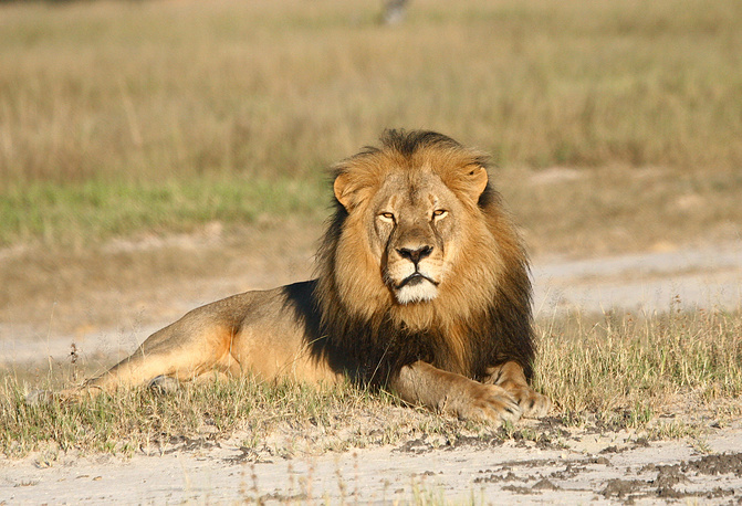 Cecil the lion in Hwange National Park, Zimbabwe
