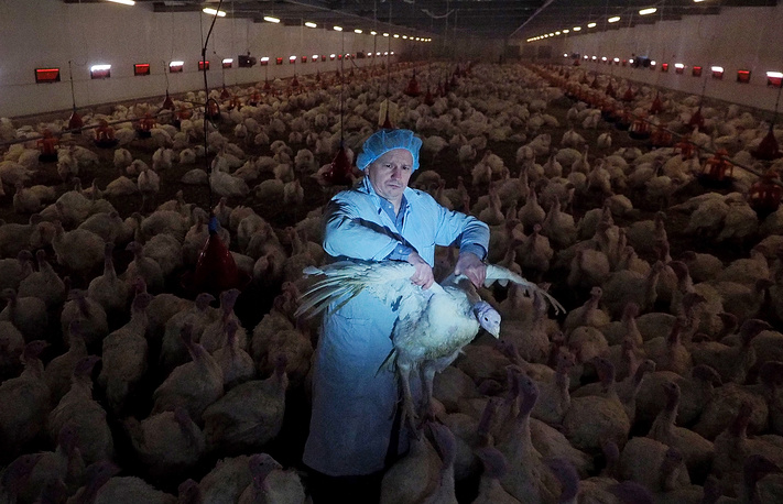 A worker standing among turkeys bred at the Trud poultry farm in the village in Leningrad region, February 10, 2015