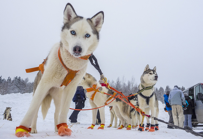 On the Land of Sampo 2016, the 5th International middle and sprint-distances sled dog race run, in Petrozavodsk, Karelia