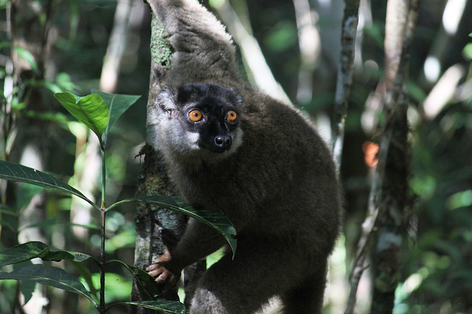 Dreater bamboo lemur, also known as the broad-nosed bamboo lemur looking through the forest at Andasibe-Mantadia National Park in Andasibe, Madagascar. It is one of the world's most critically endangered primates, according to the IUCN Red List. The East African island nation is the only place in the world to see lemurs in the wild