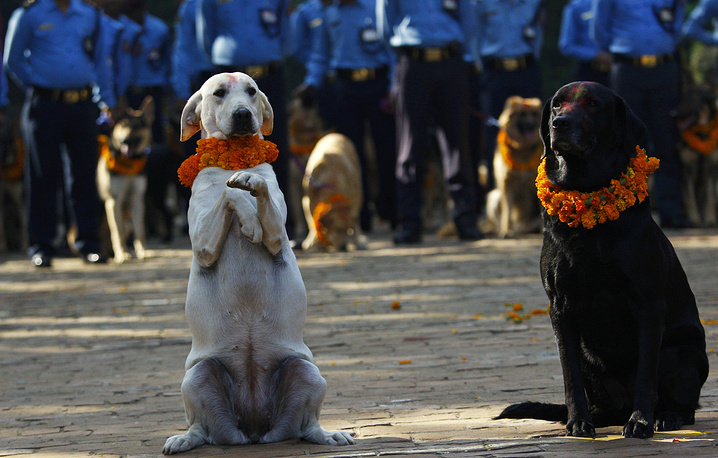 Police dogs taking part in the Tihar festival celebrations at a police kennel division in Katmandu. Dogs are worshipped to acknowledge their role in providing security as part of rituals during Tihar festival, or the festival of lights, one of the most important Hindu festivals