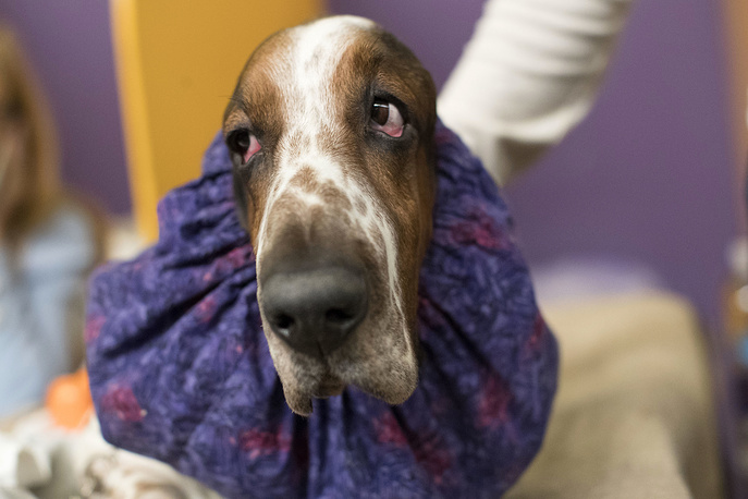 Davis, a basset hound, waits in the staging area during the Westminster Dog Show in New York