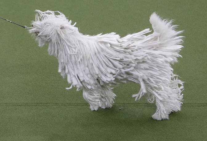 Betty, a komondor