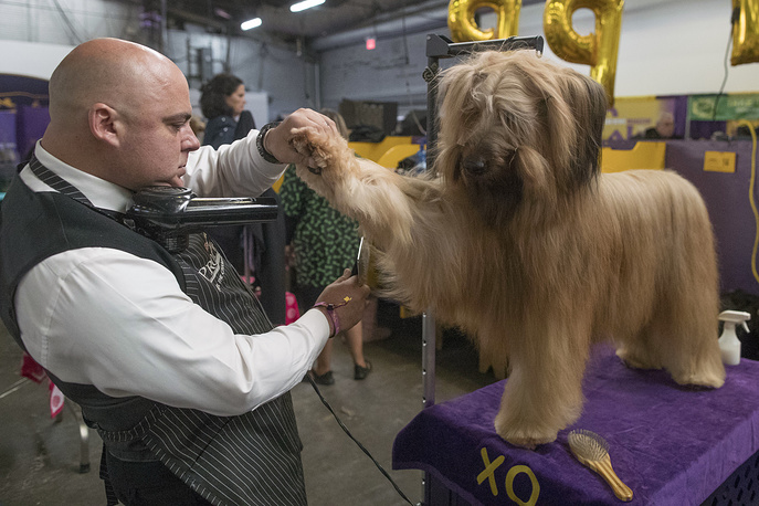 XO, a briard, is groomed before competition