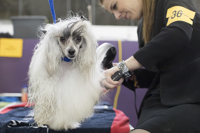 Bailey, a Chinese crested