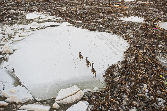 Startled roe deers make their way on an icefloe surrounded by driftwood as they are drifted by the rising icy water of River Tisza at Cigand, Hungary, February 10