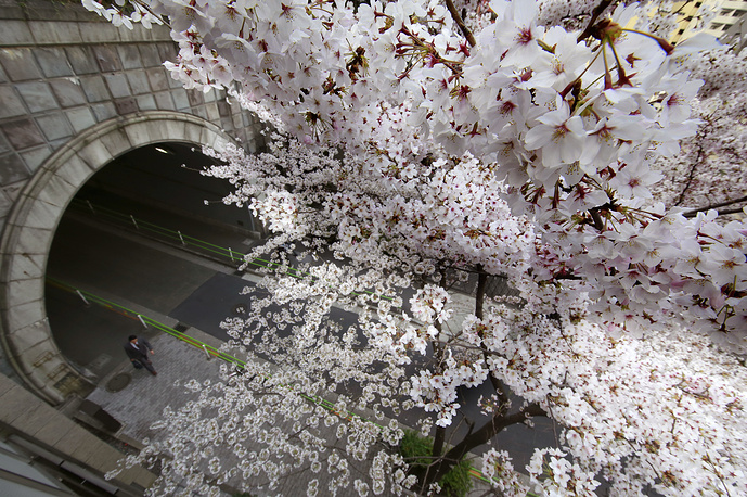 A man walks under the blooming cherry blossoms in Tokyo, Japan