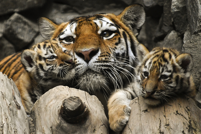 Siberian tigress Lapa with her cubs in an enclosure at the Novosibirsk Zoo, Russia, June 10