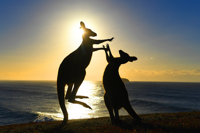 Eastern grey kangaroos fight at Emerald Beach in northern New South Wales, Australia, August 2