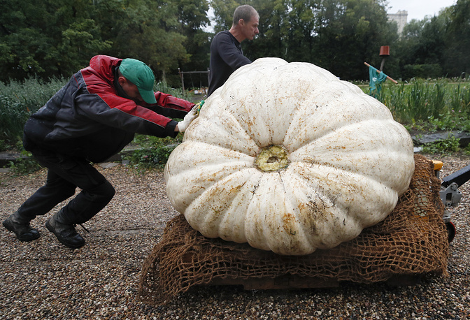 Men transport an Atlantic Giant Pumpkin, which was cultivated for about six months and currently weighs over 430 kilograms, before its presentation at Moscow State University's Botanic Garden in Moscow, Russia, September 5