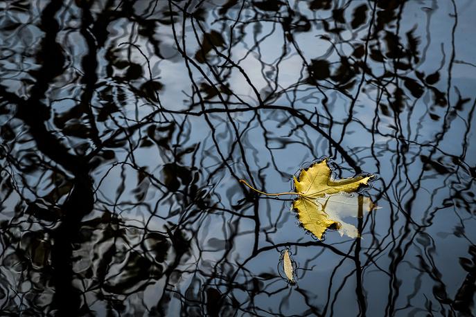 A yellow leaf of a maple tree floats in a pond at Ostankino park in Moscow, Russia, October 18