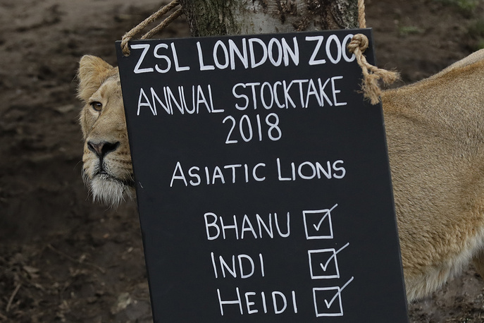 A lioness stands next to a sign placed in their in enclosure during the annual stock-take at London Zoo in London, Britain, February 7